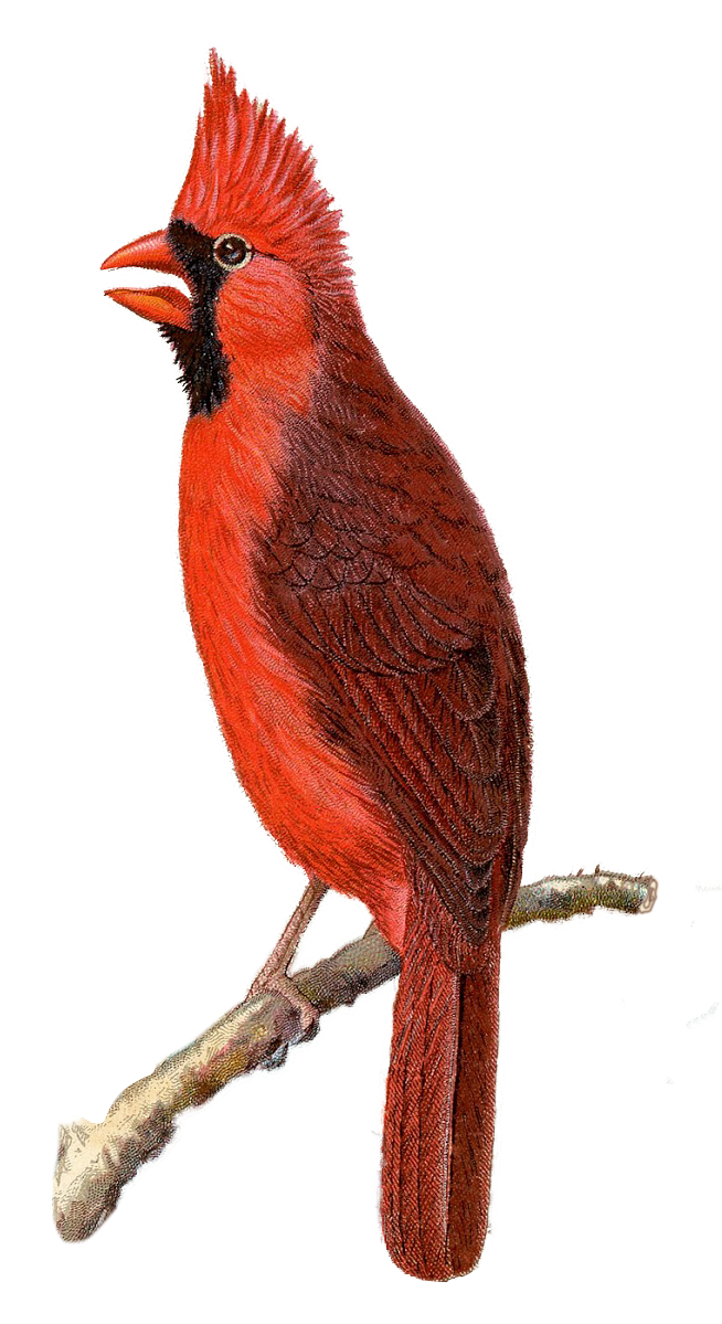 Cardinal-Vintage-GraphicsFairy